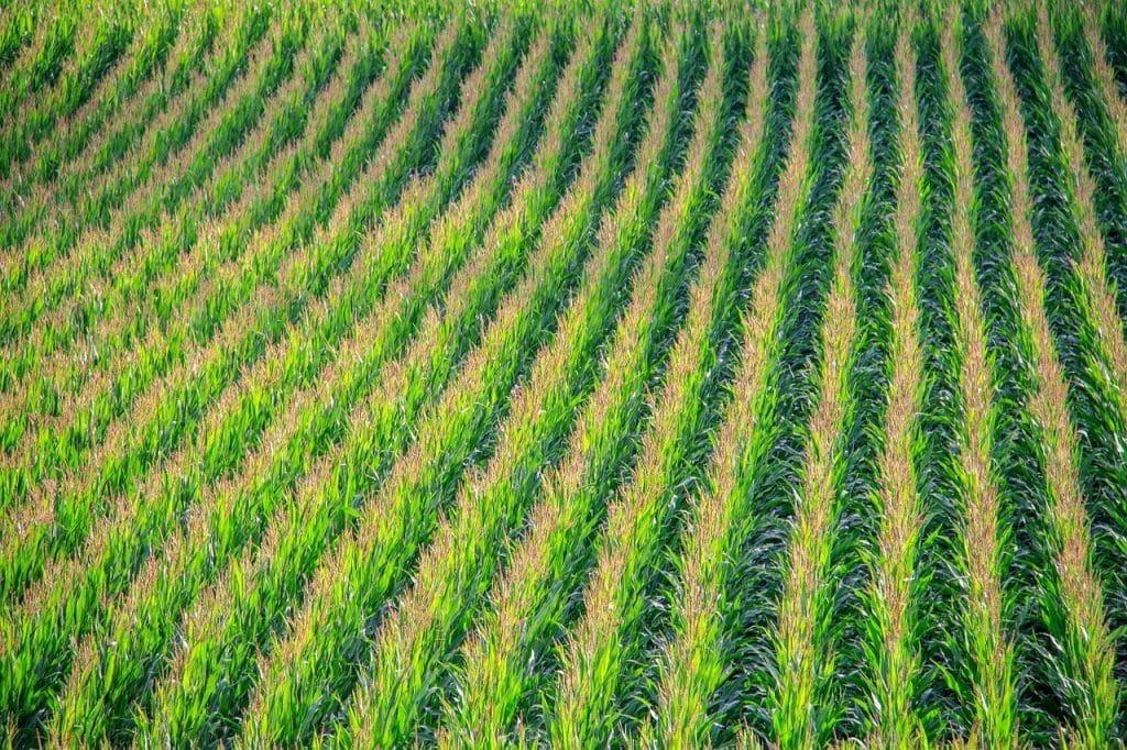 Photo of a vast cornfield