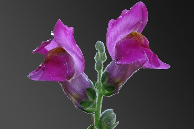 close-up photo of a snapdragon flower