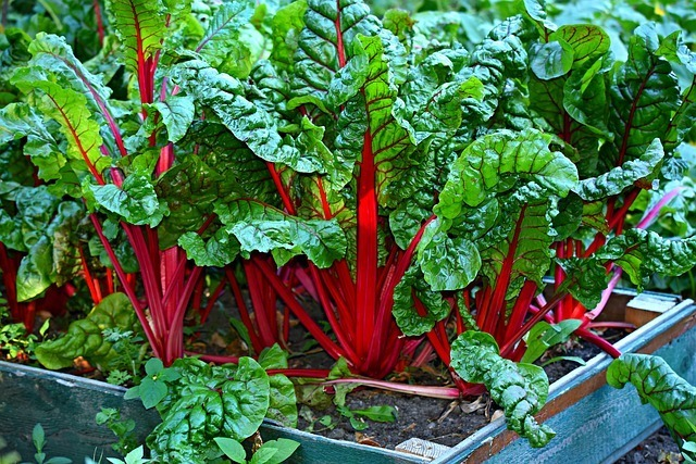 swiss chard on a square foot garden plot