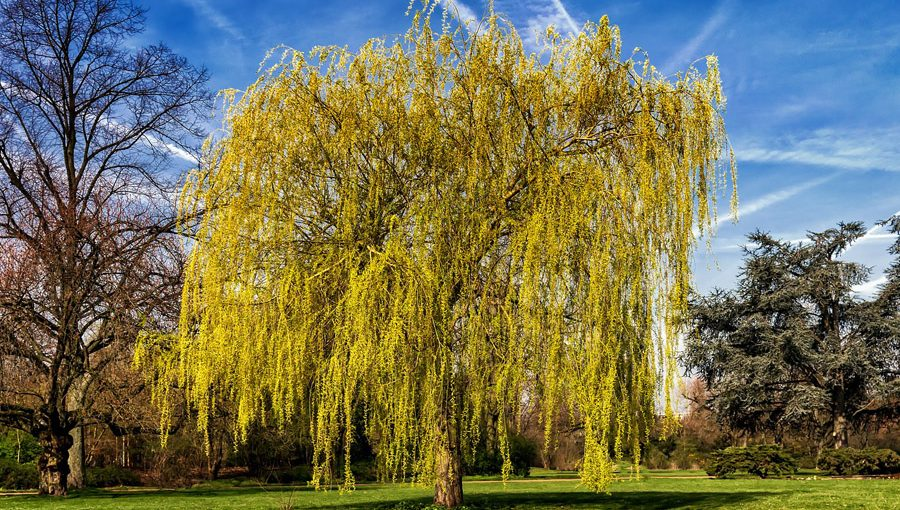 weeping willow fast growing tree