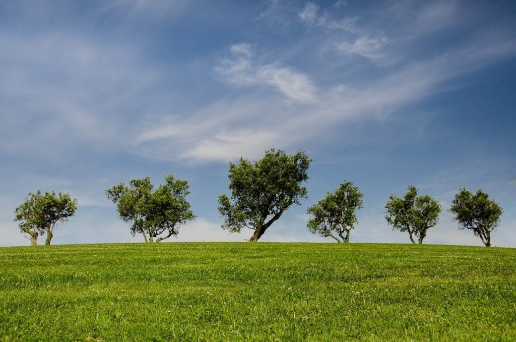 a line of fast growing shade trees in flat land area
