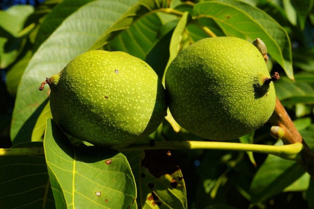 walnut tree requirements